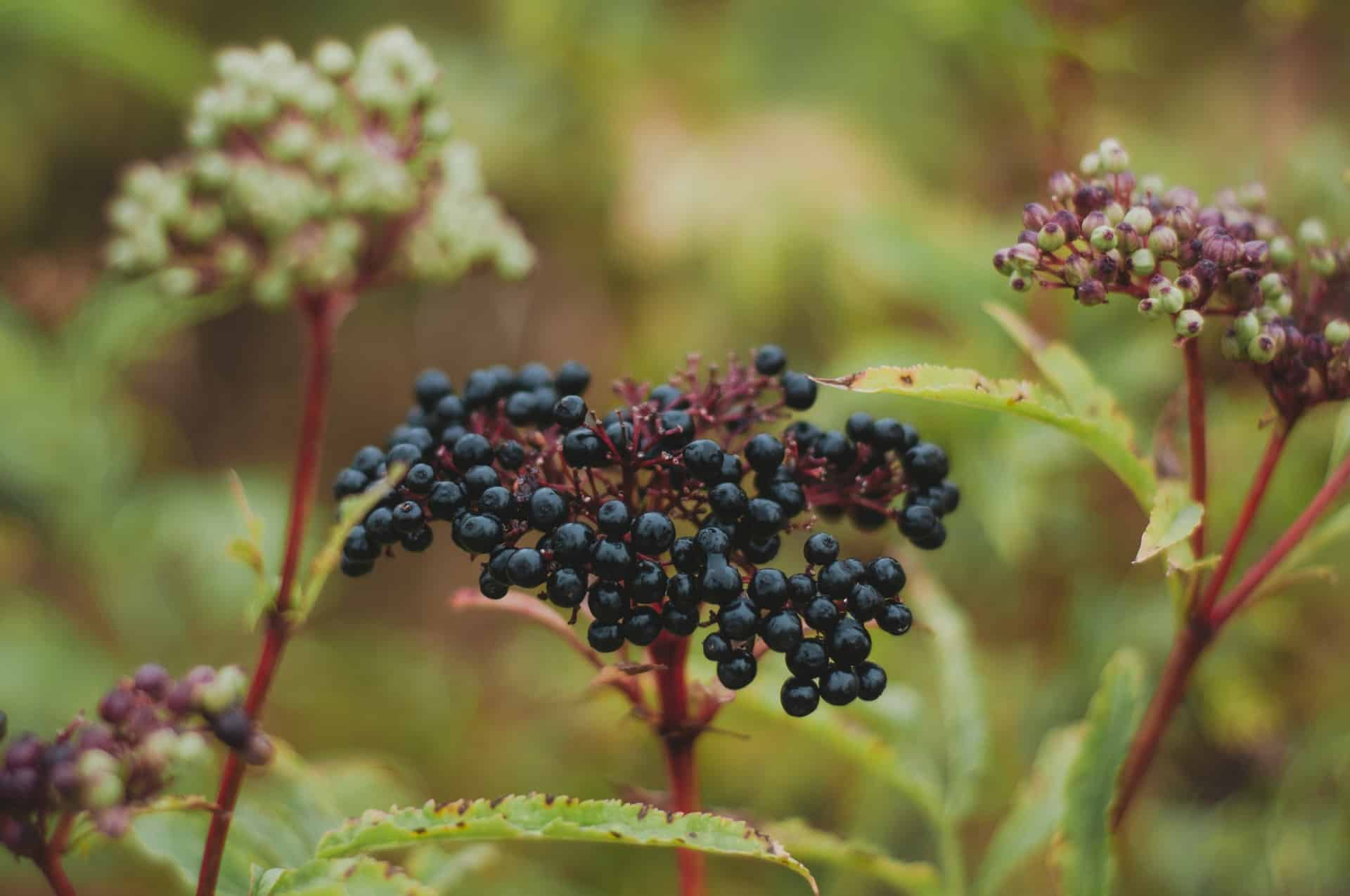 tinctures made from elderberry fruit are a natural herb immunity remedy that is ideal for the common cold and other health ailments